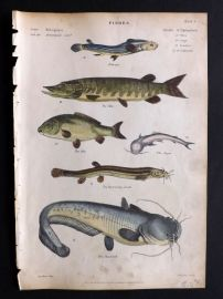 Richardson 1862 Hand Col Print. Pike, Carp, Arges, Burrowing Loach, Sheat-Fish